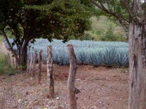 Agave - an essential ingredient in Tequila
